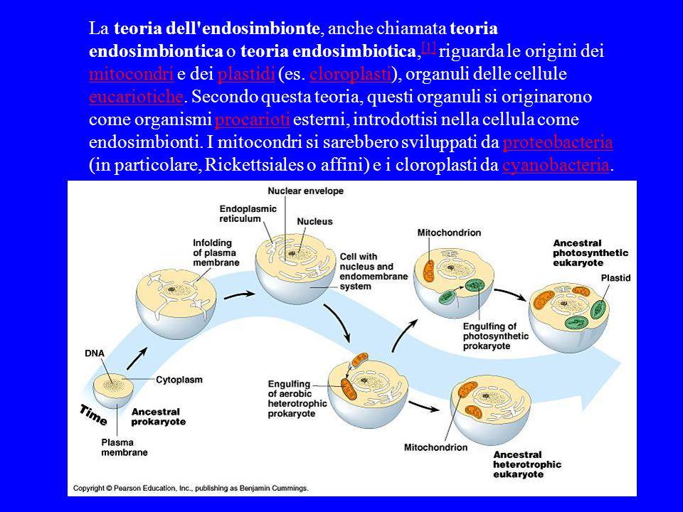 La teoria dell endosimbionte, anche chiamata teoria endosimbiontica o teoria endosimbiotica,[1] riguarda le origini dei mitocondri e dei plastidi (es.